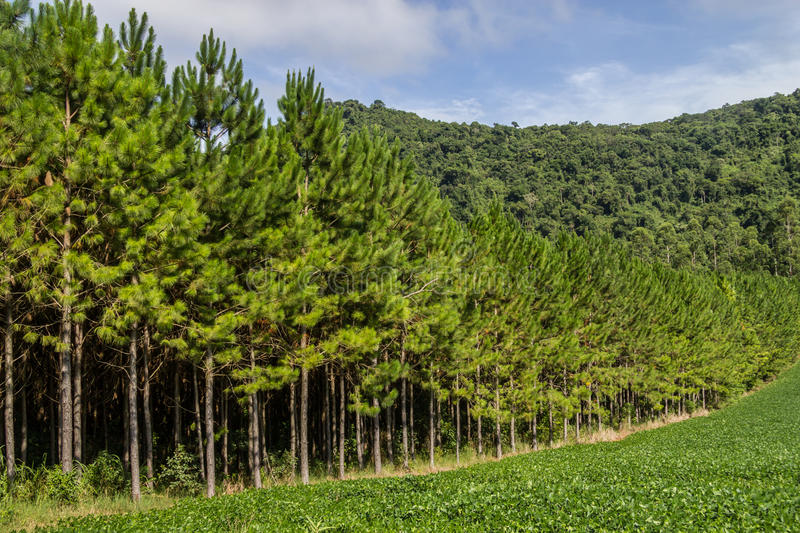 Soy plantation and Pine forest royalty free stock images