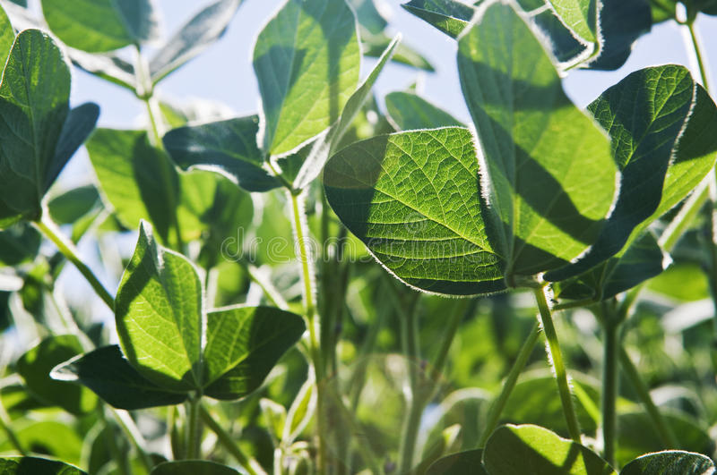 Download Soy Plants, Close Up Stock Images - Image: 26694434