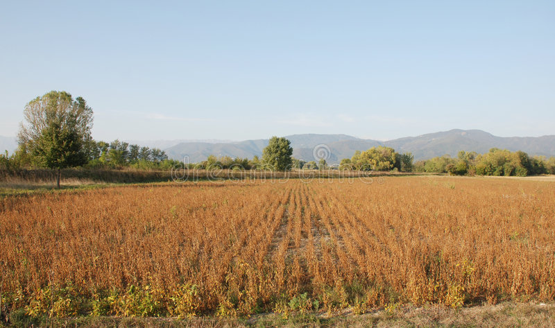 Download Soya Bean Field In Autumn stock image. Image of hilly - 7296819