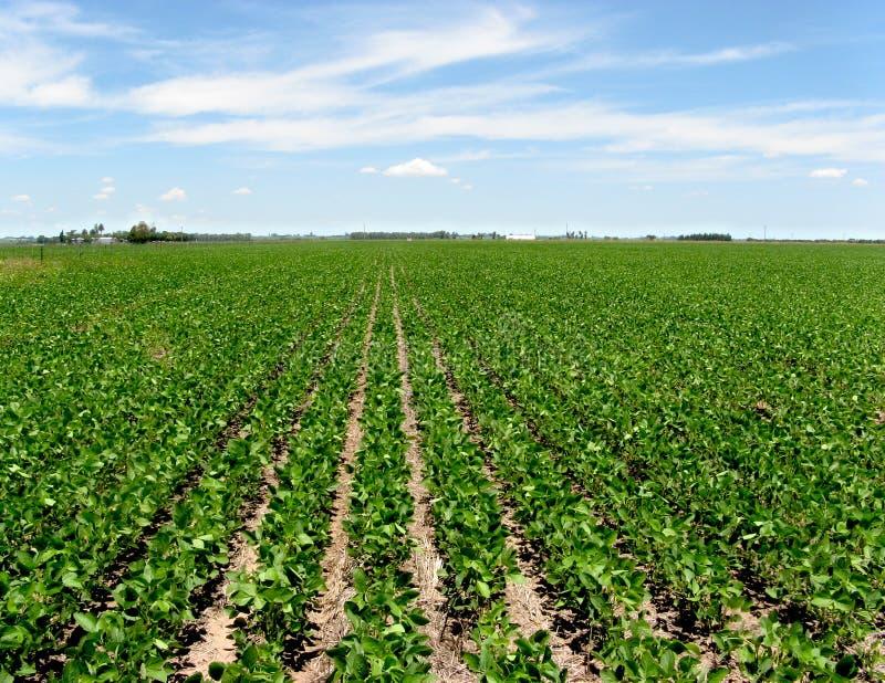 Soya crop royalty free stock image