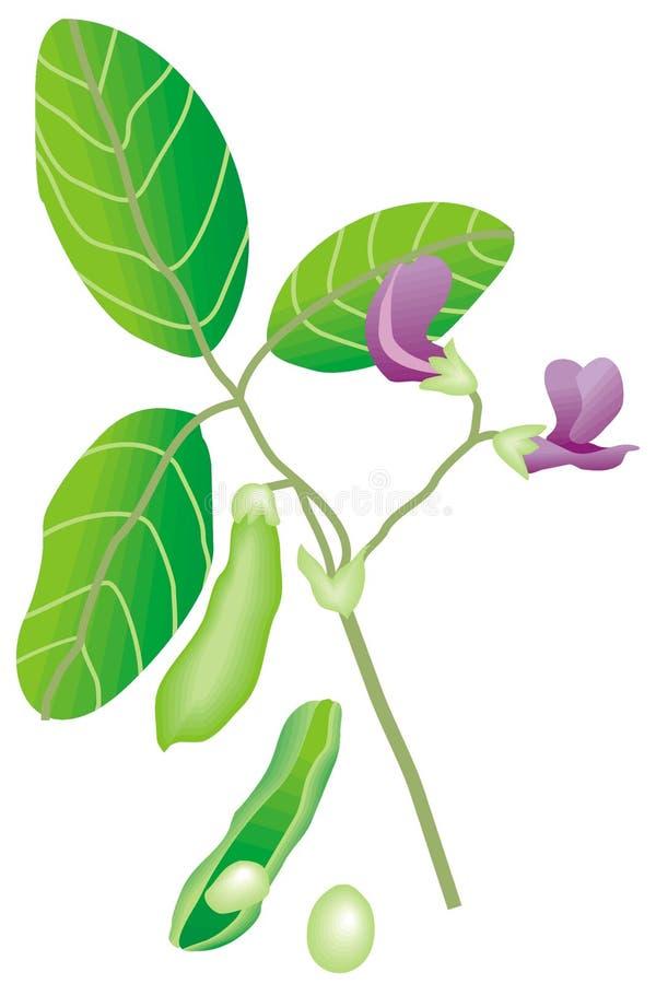 soybean stock illustrationer