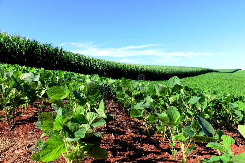 Soybean and corn cultivation in the south of Brazil. Beautiful green fields growing side by side with blue sky as a background. Agriculture generating money stock photo
