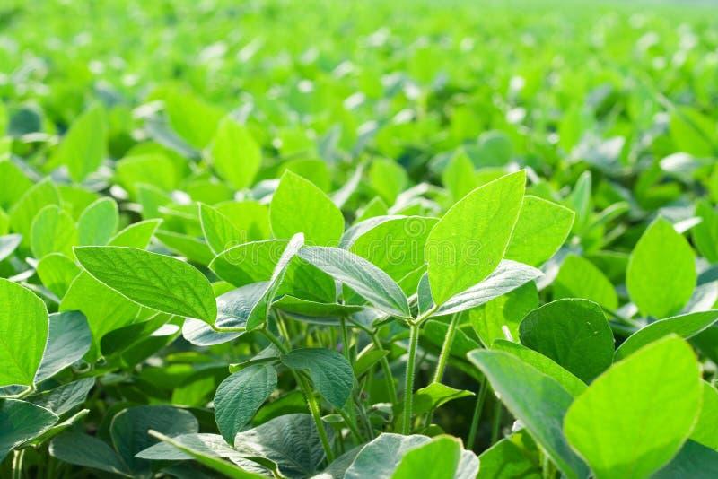 Soybean field stock image
