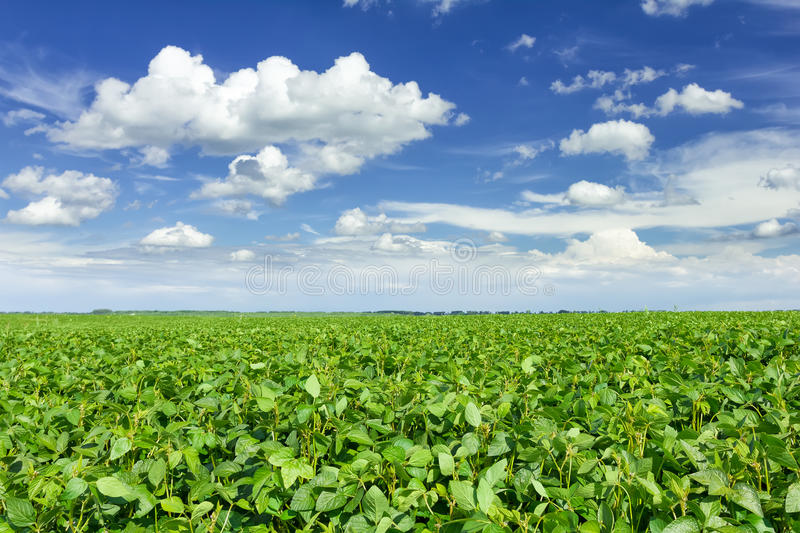 Download Soybean field stock photo. Image of farmland, monoculture - 28621204