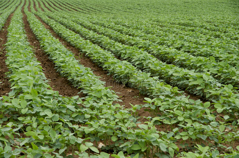 Rows of Soybeans in a Field royalty free stock photos