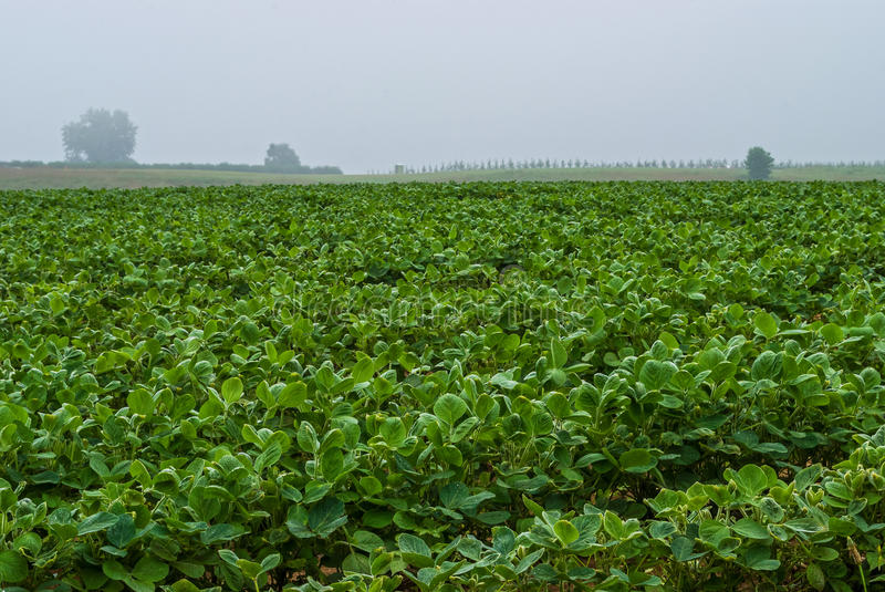 Soybean Field. A foggy morning view of a soybean field in Freehold New Jersey stock photography