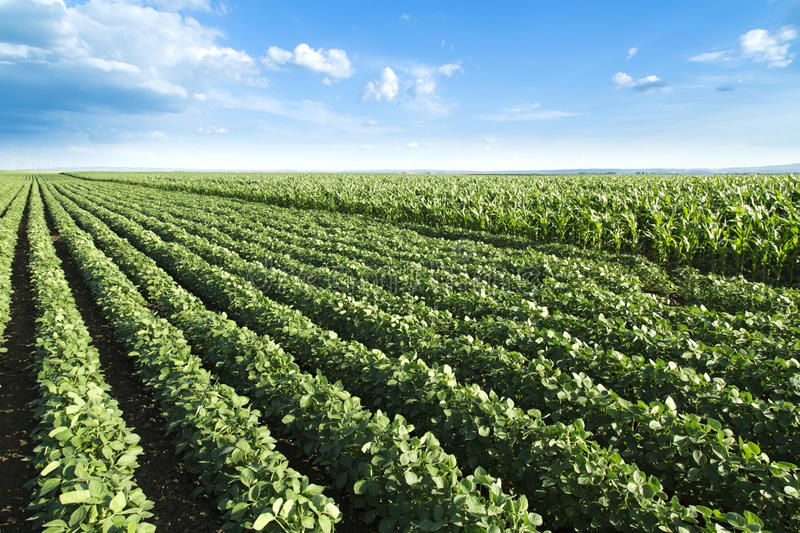 Soybean field ripening at spring season, agricultural landscape. Soybean field ripening at spring season, agricultural landscape royalty free stock images
