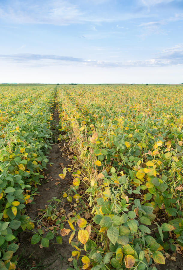 Soybean field ripening at spring season, agricultural landscape.  royalty free stock photography