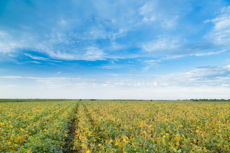 Soybean field ripening at spring season, agricultural landscape.  royalty free stock photos