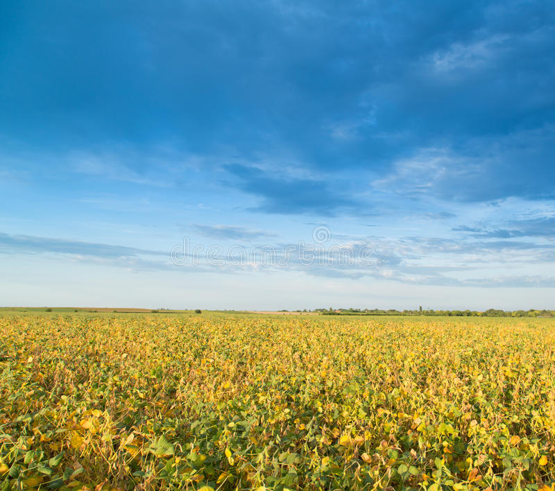 Soybean field ripening at spring season, agricultural landscape.  stock images