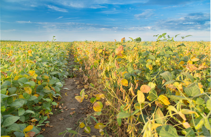 Soybean field ripening at spring season, agricultural landscape.  royalty free stock image