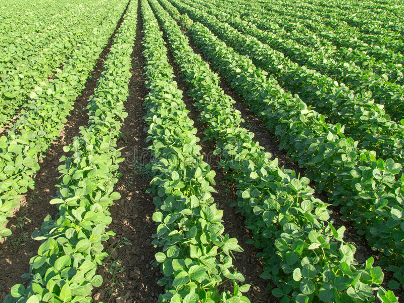 Soybean field ripening at spring season, agricultural landscape.  royalty free stock images