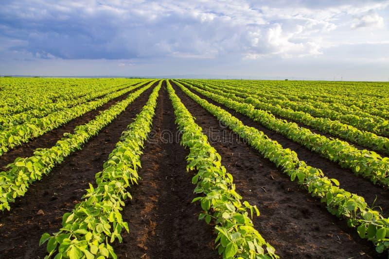 Soybean field ripening at spring season, agricultural landscape. Soybean field ripening at spring season, agricultural landscape stock images