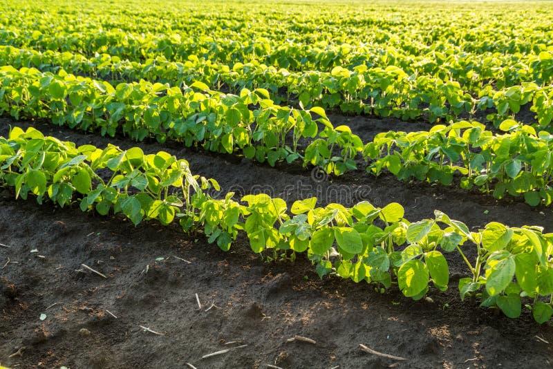 Soybean field ripening at spring season, agricultural landscape. Soybean field ripening at spring season, agricultural landscape stock photos