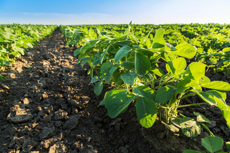 Soybean field ripening at spring season, agricultural landscape. Soybean field ripening at spring season, agricultural landscape royalty free stock photos