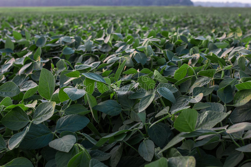 Soybean field ripening at spring season, agricultural landscape stock photos