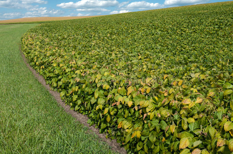 Download Soybean Fields In September Stock Photo - Image: 34261270