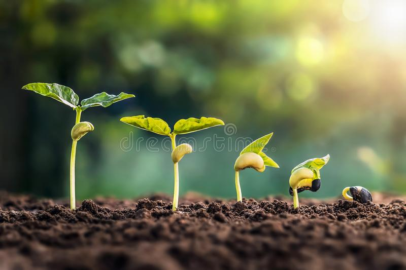 Soybean growth in farm with green leaf background. plant seeding growing step concept royalty free stock photography