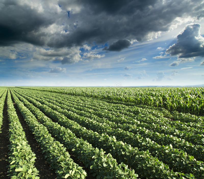 Soybean next to corn field ripening at spring season, agricultural landscape. royalty free stock images