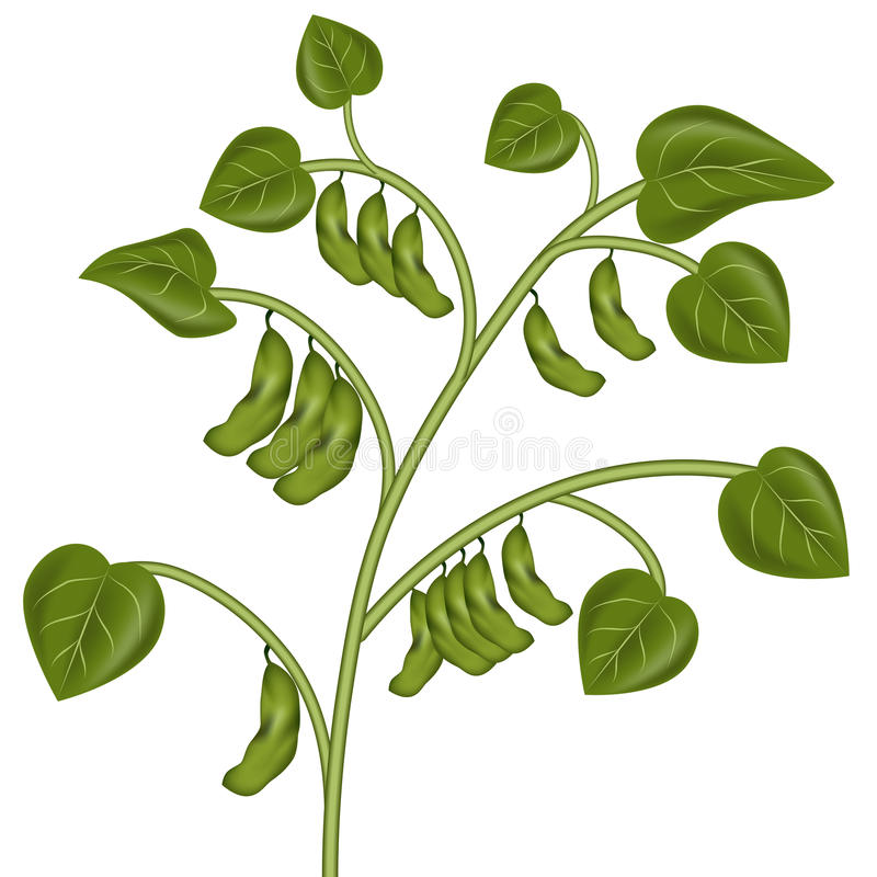 Download Soybean Plant stock vector. Illustration of growth, soybean - 22864915