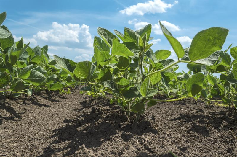 Soybean plants growing in row in cultivated field. Soybean plant in cultivated agricultural field from the frog perspective royalty free stock photos