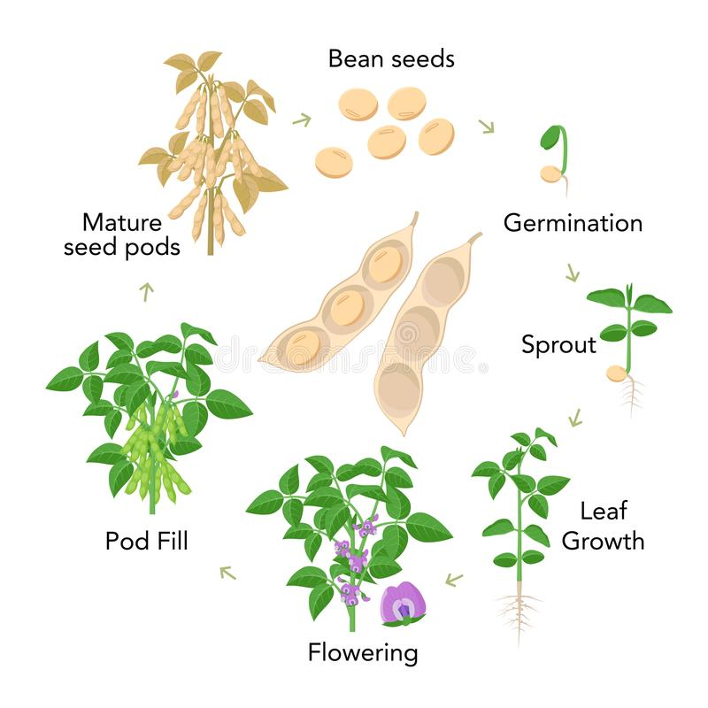 Soybean plant growth stages infographic elements in flat design. Planting process from seeds, sprout to ripe vegetable. Soya bean life cycle isolated on white royalty free illustration