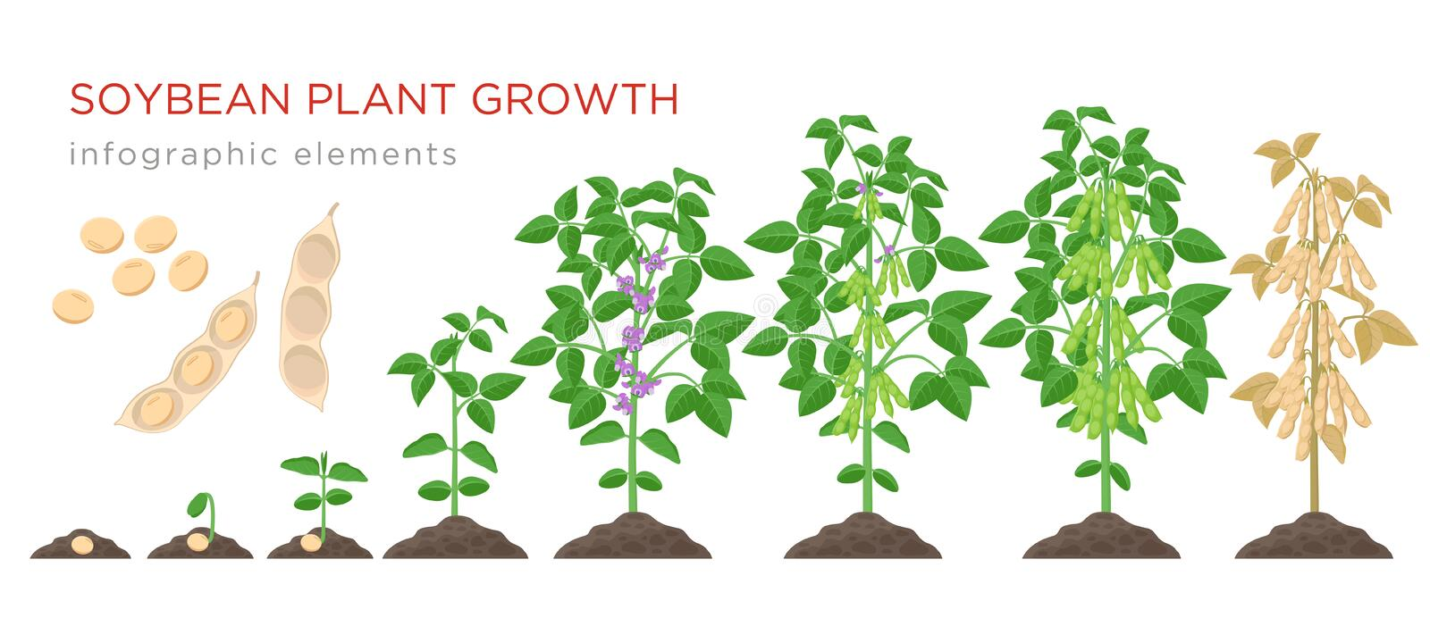 Pea Plant Growth Stages Infographic Elements In Flat Design