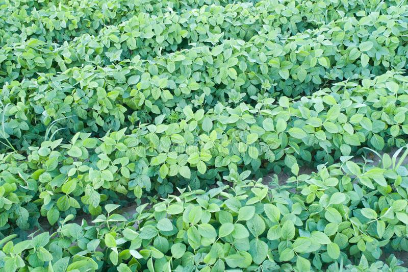 Soybean field in early summer stock images
