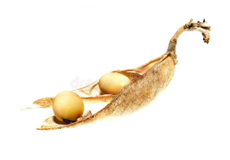 Soybean pod stock photo
