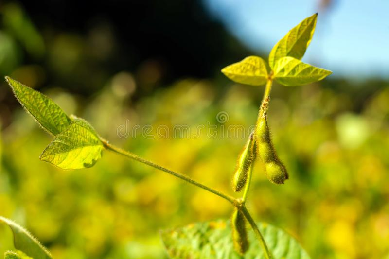 Soybean pod filled with beans in a field against the sky stock photos