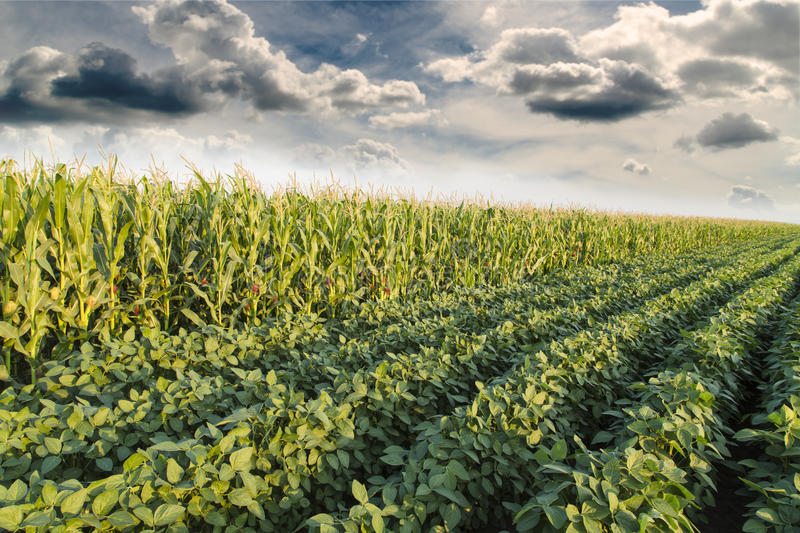 Soybean ripening next to corn maize field at spring season, agricultural landscape. stock photo