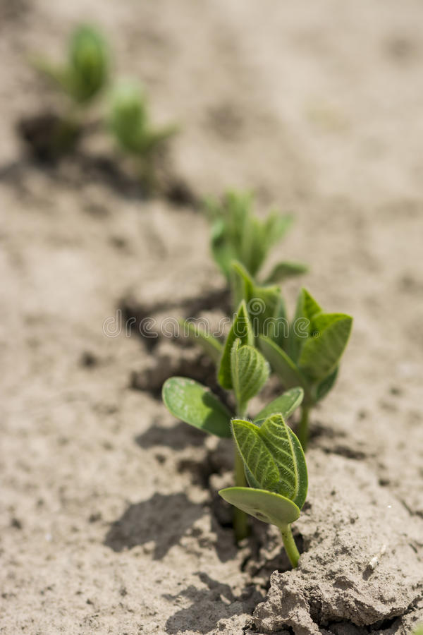 Soybean seedlings royalty free stock image