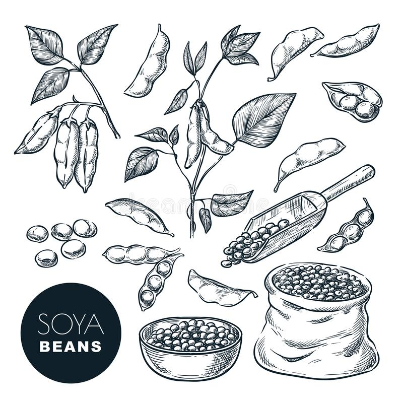 Free Soybean Sketch Vector Illustration. Soya Beens, Pod On Green Plant, Seeds In Sack. Hand Drawn Isolated Design Elements Stock Image - 141136951