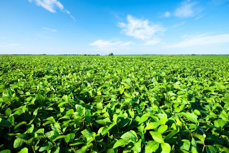 Soybeanfält royaltyfria bilder