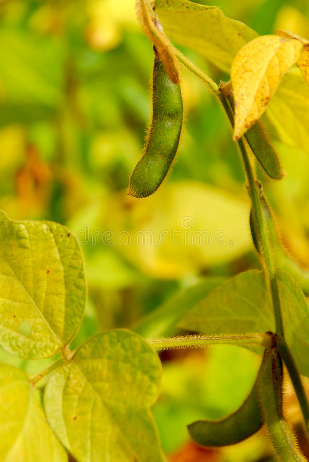 Download Soybeans stock photo. Image of plants, growing, details - 2241978