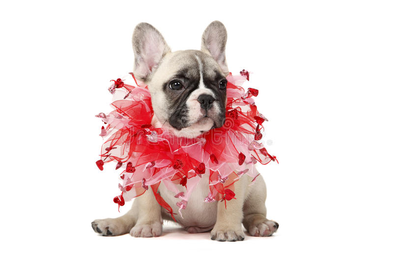 Download Soyez mon Valentine image stock. Image du canin, studio - 23119921