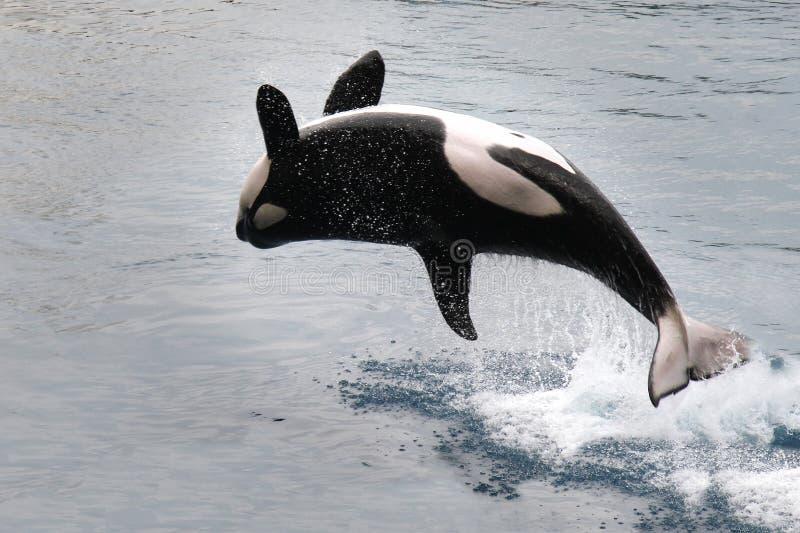 Späckhuggare som hoppar ut från vatten (Orcinusspäckhuggare) royaltyfri fotografi