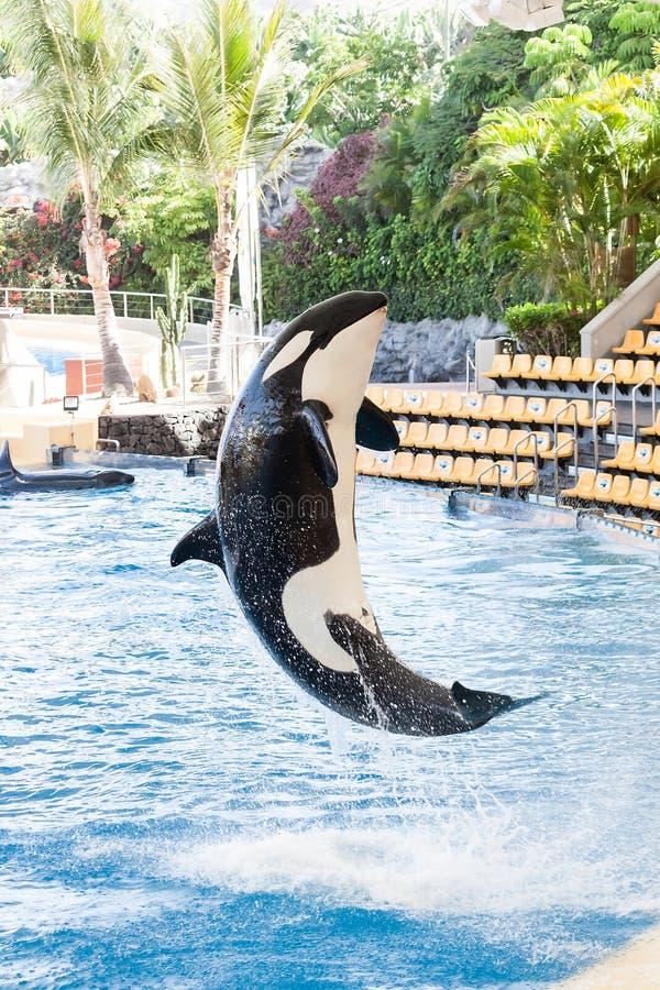 Späckhuggare som hoppar ut från vatten (Orcinusspäckhuggare) royaltyfria bilder