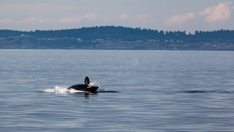 Späckhuggare som hoppar ut från vatten (Orcinusspäckhuggare) royaltyfria foton