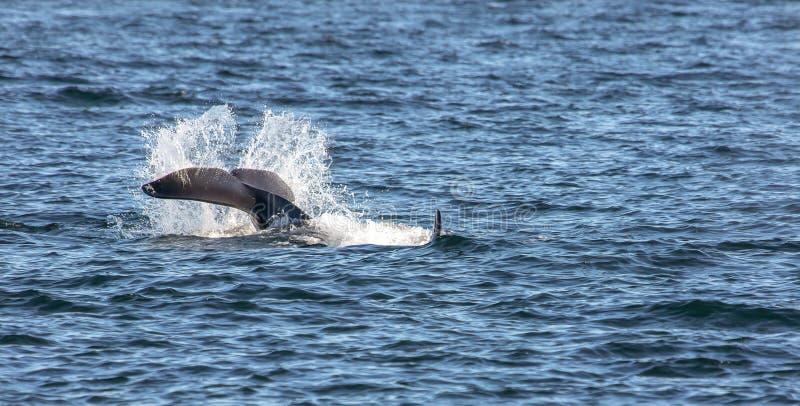 Späckhuggarevalsvans som smäller vattnet i Sanen Juan Islands av Washington State, Förenta staterna royaltyfria bilder