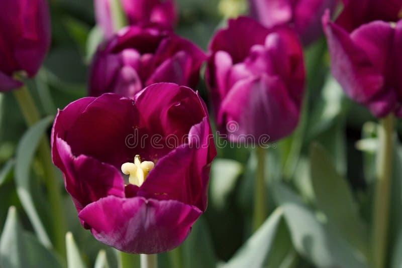 Spähen in eine purpurrote Tulpe stockfoto
