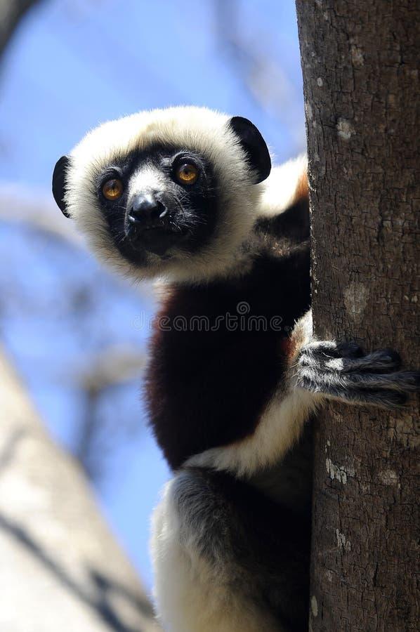 Spähen von Lemur lizenzfreies stockfoto
