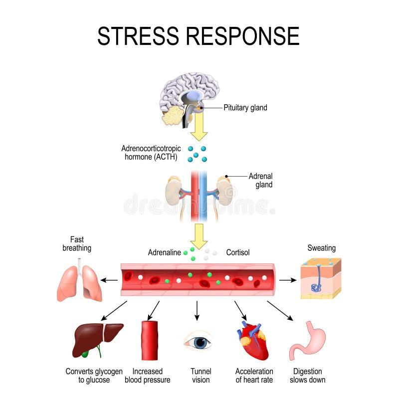 Spänningssvar Aktivering av spänningssystemet Spänningen är en huvudsaklig orsak av höga nivåer av adrenalin- och cortisolsekreti royaltyfri illustrationer
