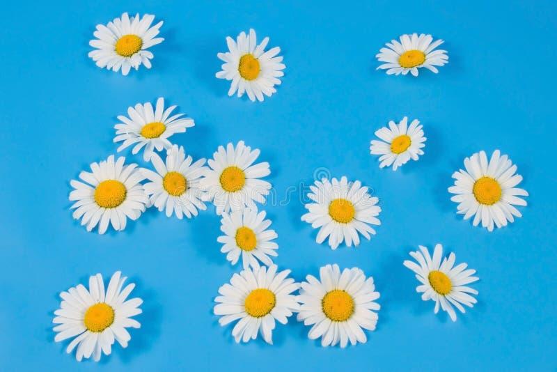 Spärliche weiße Kamille stockbild
