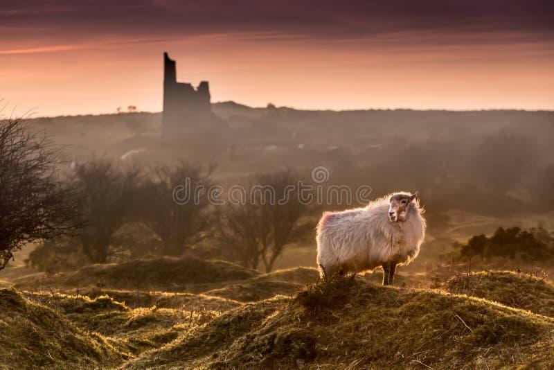 Späte Abend Highlights, mit hintergrundbeleuchteten hübschen Schafen auf Bodmin Moor in Cornwall stockfoto