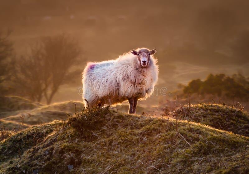 Späte Abend Highlights, mit hinterleuchteten Schafen auf der zerklüfteten misty Bodmin Moor in Cornwall lizenzfreies stockfoto