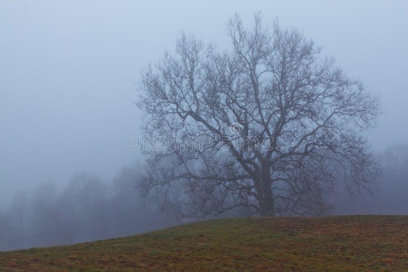 Später Fallschuß eines Platanenbaums des alten Wachstums in Connecticut auf einem nebeligen Morgen lizenzfreies stockbild