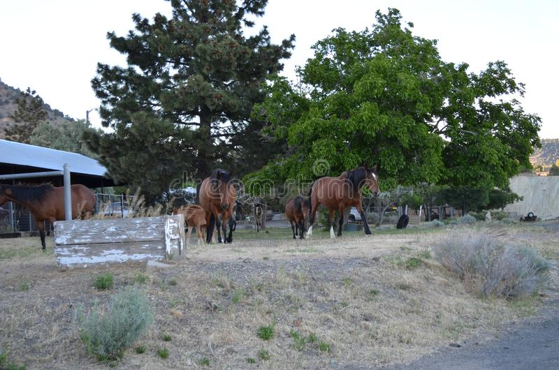 Spätfrühling in Nevada: Herde von Mustangs wandern durch Virginia City stockfoto