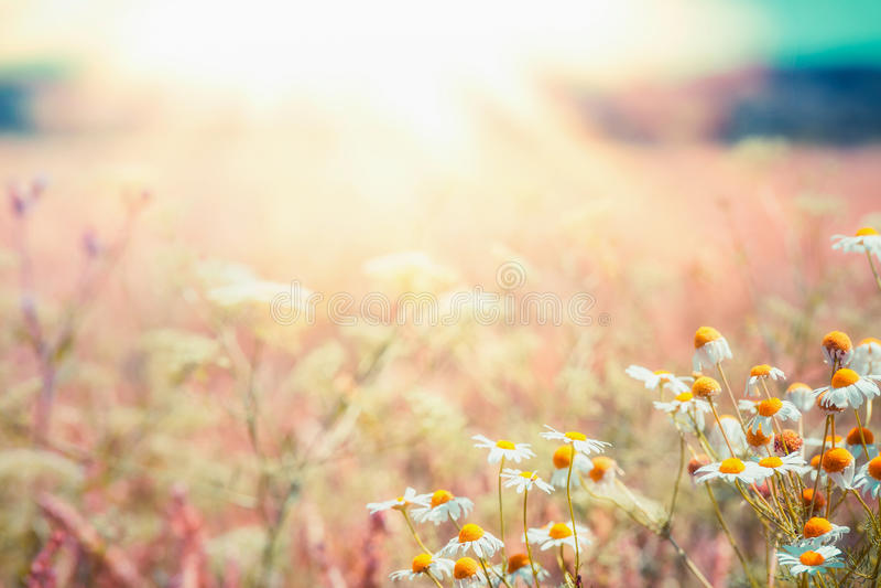 Spätsommerlandlandschaft mit Gänseblümchenwiese und Sonnenstrahl, schöner Sommer im Freien lizenzfreie stockfotos