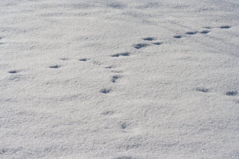 Spår av djur i snö Hjort älgen, vargen, räven, hunden, katt tafsar fotspår i skogen royaltyfri fotografi